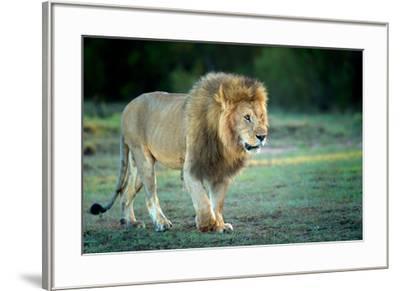 Male lion, Masai Mara, Kenya, East Africa, Africa-Karen Deakin-Framed Photographic Print