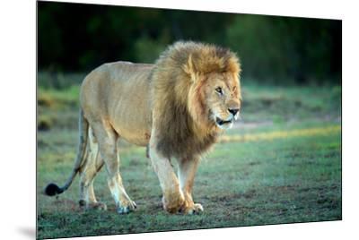 Male lion, Masai Mara, Kenya, East Africa, Africa-Karen Deakin-Mounted Photographic Print