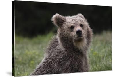 European brown bear (Ursus arctos), Slovenia, Europe-Sergio Pitamitz-Stretched Canvas Print