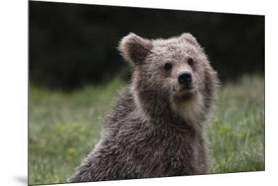 European brown bear (Ursus arctos), Slovenia, Europe-Sergio Pitamitz-Mounted Photographic Print
