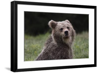 European brown bear (Ursus arctos), Slovenia, Europe-Sergio Pitamitz-Framed Photographic Print