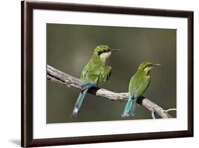Swallow-tailed bee-eater (Merops hirundineus) adult and juvenile, Kgalagadi Transfrontier Park, Sou-James Hager-Framed Photographic Print