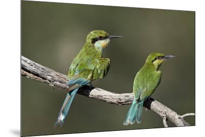 Swallow-tailed bee-eater (Merops hirundineus) adult and juvenile, Kgalagadi Transfrontier Park, Sou-James Hager-Mounted Photographic Print