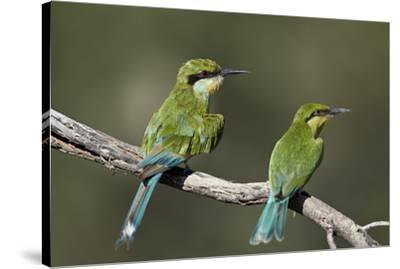 Swallow-tailed bee-eater (Merops hirundineus) adult and juvenile, Kgalagadi Transfrontier Park, Sou-James Hager-Stretched Canvas Print