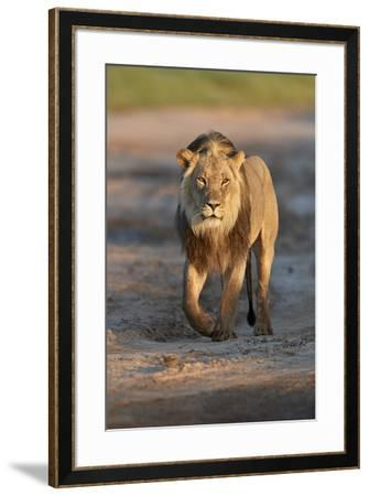 Lion (Panthera leo), Kgalagadi Transfrontier Park, South Africa, Africa-James Hager-Framed Photographic Print