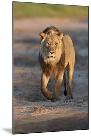 Lion (Panthera leo), Kgalagadi Transfrontier Park, South Africa, Africa-James Hager-Mounted Photographic Print