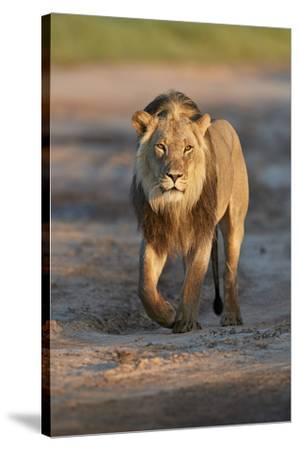 Lion (Panthera leo), Kgalagadi Transfrontier Park, South Africa, Africa-James Hager-Stretched Canvas Print
