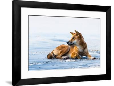 Wild dingo on Seventy Five Mile Beach, Fraser Island, Queensland, Australia, Pacific-Andrew Michael-Framed Photographic Print