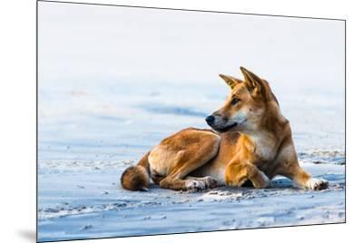 Wild dingo on Seventy Five Mile Beach, Fraser Island, Queensland, Australia, Pacific-Andrew Michael-Mounted Photographic Print