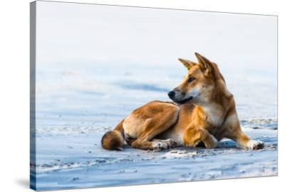 Wild dingo on Seventy Five Mile Beach, Fraser Island, Queensland, Australia, Pacific-Andrew Michael-Stretched Canvas Print