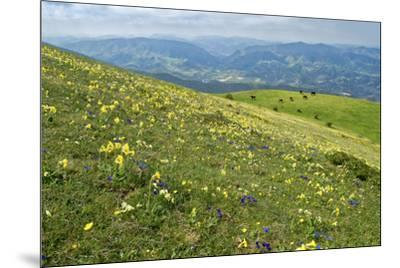 Wild flowers in bloom and horses, Mountain Acuto, Apennines, Umbria, Italy, Europe-Lorenzo Mattei-Mounted Photographic Print