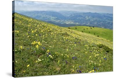 Wild flowers in bloom and horses, Mountain Acuto, Apennines, Umbria, Italy, Europe-Lorenzo Mattei-Stretched Canvas Print