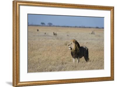 Lion (Panthera leo), Savuti, Chobe National Park, Botswana, Africa-Sergio Pitamitz-Framed Photographic Print