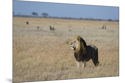 Lion (Panthera leo), Savuti, Chobe National Park, Botswana, Africa-Sergio Pitamitz-Mounted Photographic Print