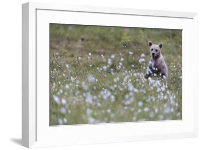 European Brown Bear (Ursus arctos arctos) cub, sitting on cotton grass filled taiga swamp, Suomussa-Robert Canis-Framed Photographic Print