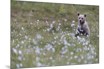 European Brown Bear (Ursus arctos arctos) cub, sitting on cotton grass filled taiga swamp, Suomussa-Robert Canis-Mounted Photographic Print