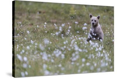 European Brown Bear (Ursus arctos arctos) cub, sitting on cotton grass filled taiga swamp, Suomussa-Robert Canis-Stretched Canvas Print