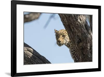 Leopard (Panthera pardus), Khwai Conservation Area, Okavango Delta, Botswana, Africa-Sergio Pitamitz-Framed Photographic Print