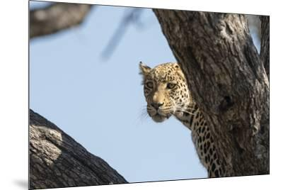 Leopard (Panthera pardus), Khwai Conservation Area, Okavango Delta, Botswana, Africa-Sergio Pitamitz-Mounted Photographic Print