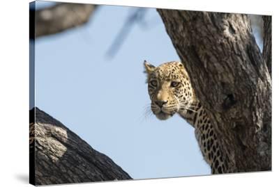 Leopard (Panthera pardus), Khwai Conservation Area, Okavango Delta, Botswana, Africa-Sergio Pitamitz-Stretched Canvas Print