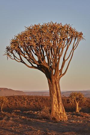 Quiver tree (Kokerboom) (Aloe dichotoma), Gannabos, Namakwa, Namaqualand, South Africa, Africa-James Hager-Framed Photographic Print
