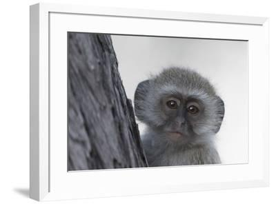 Vervet monkey (Chlorocebus pygerythrus), Moremi Game Reserve, Okavango Delta, Botswana, Africa-Sergio Pitamitz-Framed Photographic Print