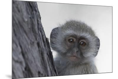 Vervet monkey (Chlorocebus pygerythrus), Moremi Game Reserve, Okavango Delta, Botswana, Africa-Sergio Pitamitz-Mounted Photographic Print