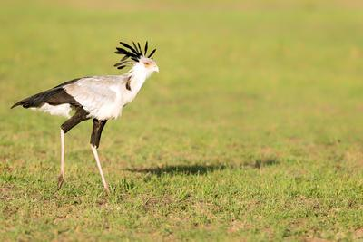 Secretary bird, Masai Mara, Kenya, East Africa, Africa-Karen Deakin-Framed Photographic Print