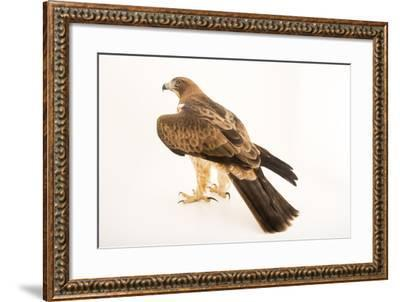 A booted eagle, Hieraaetus pennatus-Joel Sartore-Framed Photographic Print