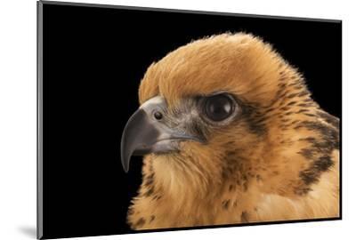 A female Hawaiian hawk, Buteo solitarius-Joel Sartore-Mounted Photographic Print