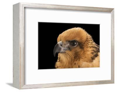 A female Hawaiian hawk, Buteo solitarius-Joel Sartore-Framed Photographic Print