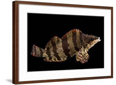 A female painted greenling, Oxylebius pictus, at Aquarium of the Pacific.-Joel Sartore-Framed Photographic Print