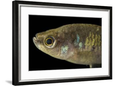 A critically endangered Tequila splitfin, Zoogoneticus tequila-Joel Sartore-Framed Photographic Print
