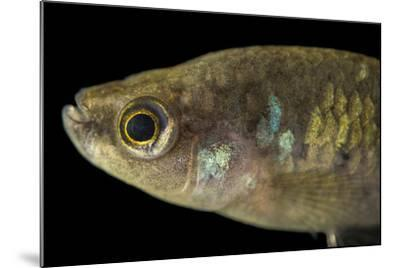 A critically endangered Tequila splitfin, Zoogoneticus tequila-Joel Sartore-Mounted Photographic Print
