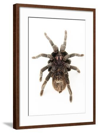 A female Colombian lesser black tarantula, Xenesthis immanis, at the Budapest Zoo.-Joel Sartore-Framed Photographic Print
