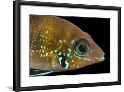 Blue flash, Thorichthys aureus-Joel Sartore-Framed Photographic Print
