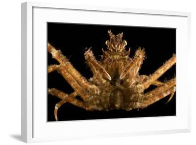Japanese spider crab, Macrocheira kaempferi, at the Aquarium of the Pacific.-Joel Sartore-Framed Photographic Print