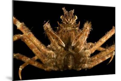 Japanese spider crab, Macrocheira kaempferi, at the Aquarium of the Pacific.-Joel Sartore-Mounted Photographic Print