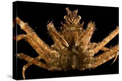 Japanese spider crab, Macrocheira kaempferi, at the Aquarium of the Pacific.-Joel Sartore-Stretched Canvas Print