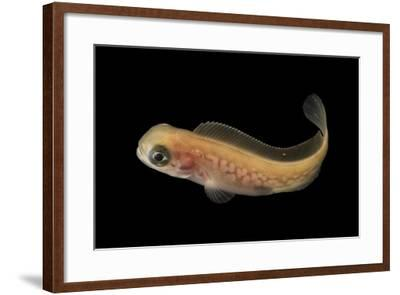 Prowfish, Zaprora silenus, at the Alaska SeaLife Center.-Joel Sartore-Framed Photographic Print