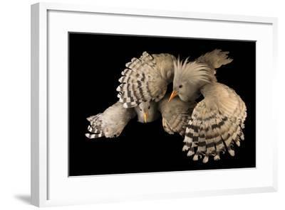 Kagu, Rhynochetos jubatus, at the Houston Zoo.-Joel Sartore-Framed Photographic Print