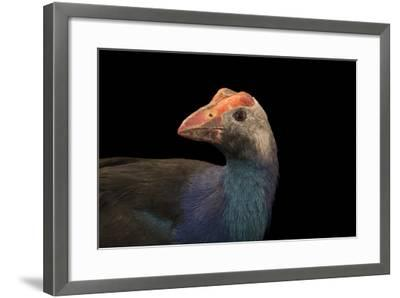 Purple swamphen, Porphyrio porphyrio viridis-Joel Sartore-Framed Photographic Print