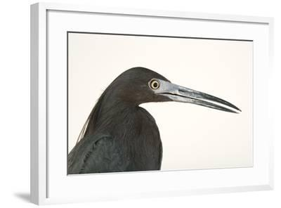 Little blue heron, Florida caerulea-Joel Sartore-Framed Photographic Print