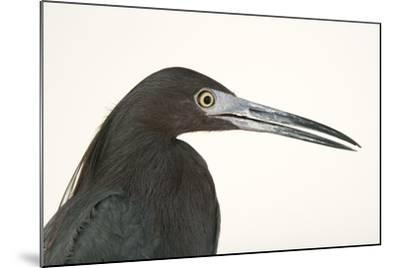 Little blue heron, Florida caerulea-Joel Sartore-Mounted Photographic Print