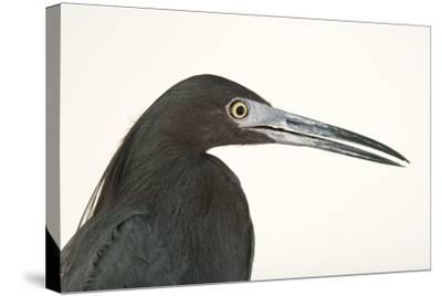 Little blue heron, Florida caerulea-Joel Sartore-Stretched Canvas Print