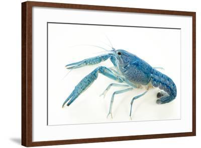 Blue crayfish, Procambarus alleni-Joel Sartore-Framed Photographic Print