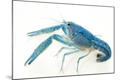 Blue crayfish, Procambarus alleni-Joel Sartore-Mounted Photographic Print
