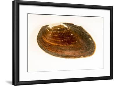 Flat spike mussel, Elliptio jayensis, at Welaka National Fish Hatchery Aquarium.-Joel Sartore-Framed Photographic Print