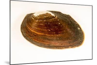 Flat spike mussel, Elliptio jayensis, at Welaka National Fish Hatchery Aquarium.-Joel Sartore-Mounted Photographic Print