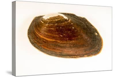 Flat spike mussel, Elliptio jayensis, at Welaka National Fish Hatchery Aquarium.-Joel Sartore-Stretched Canvas Print